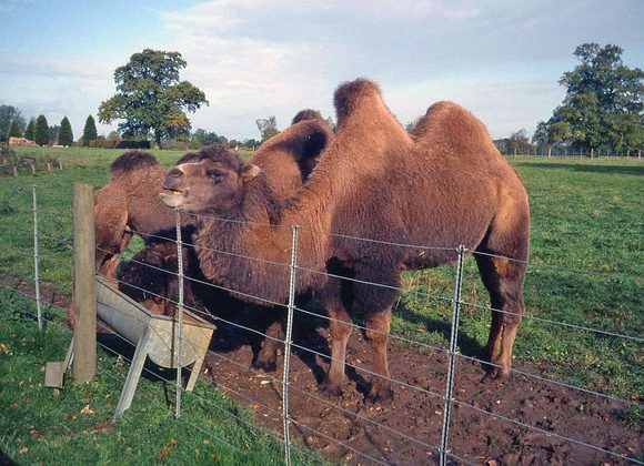 Camels, And Unique Facts About Them
