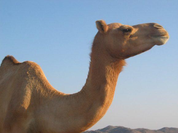 Camel by Xikita