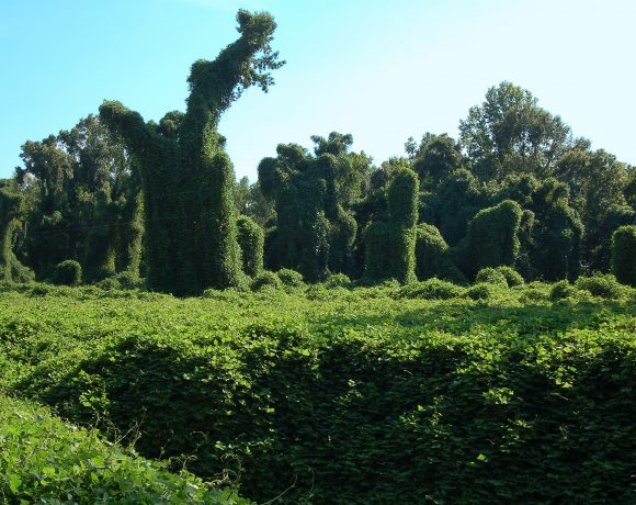 The Beauty, The Mistery, And The Facts About Kudzu