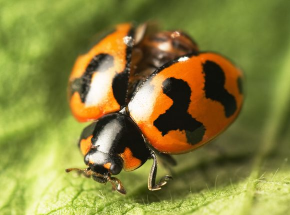 Ladybugs (Wikimedia Commons)