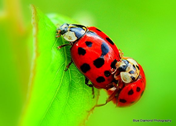 Ladybugs by Blue Diamond Photography