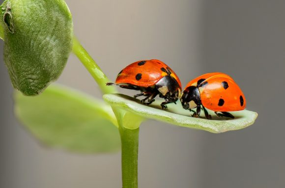 Ladybugs couple