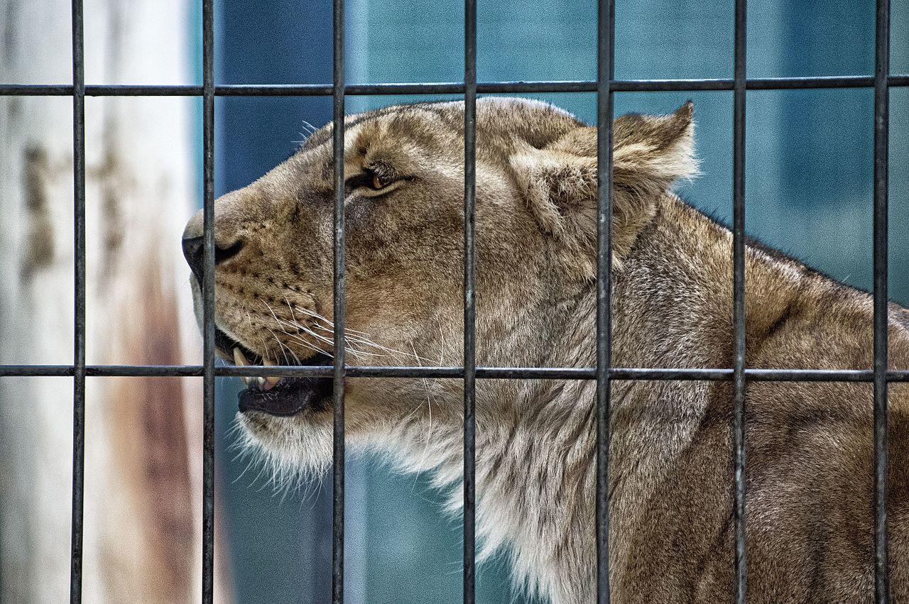 caged lioness by Bjørn Erik Pedersen Wikimedia Commons