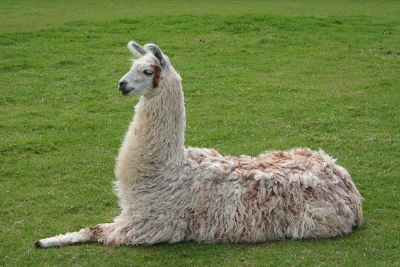 Llama (Wikimedia Commons)
