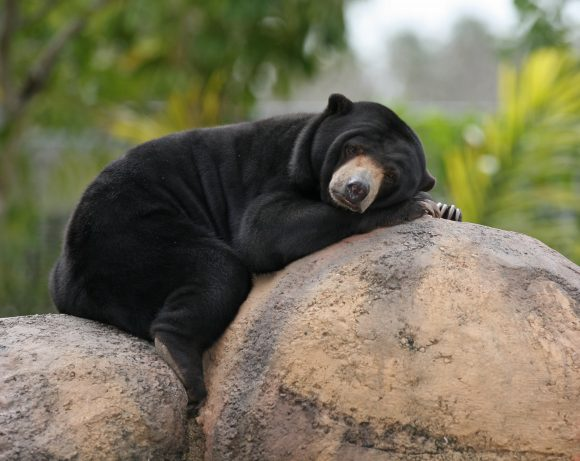 Malaysian_Sun_Bear (Wikimedia Commons)