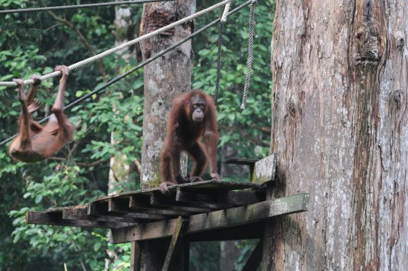Orangutan (Wikimedia Commons)