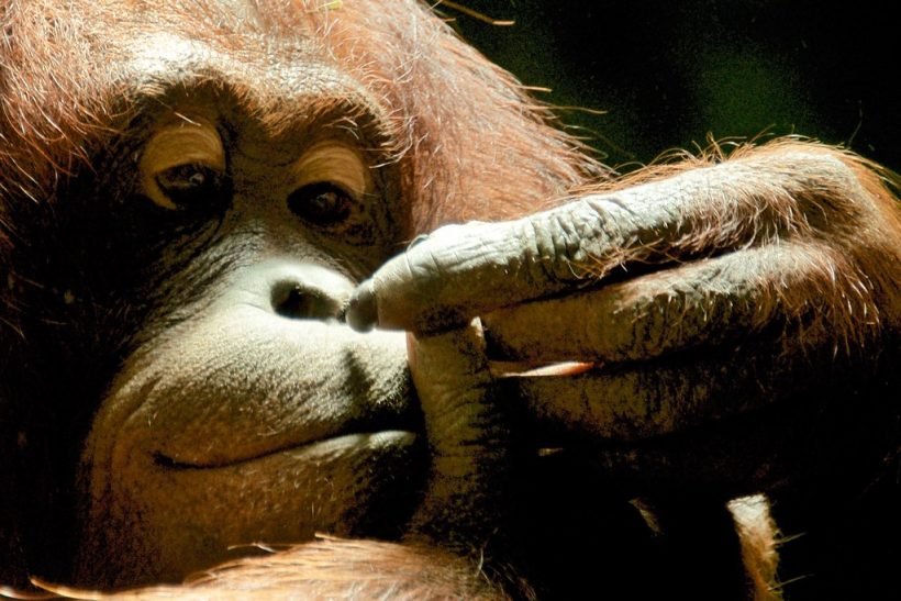 A Story From Special School For Orphaned Orangutan
