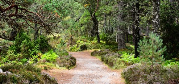 Rothiemurchus Forest by M McBey