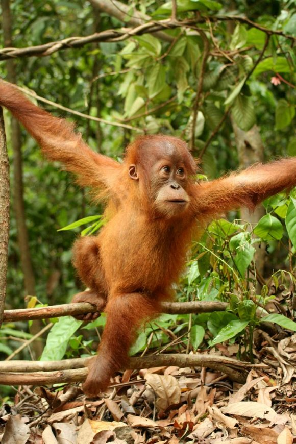 Young_orang_utan (Wikimedia Commons)