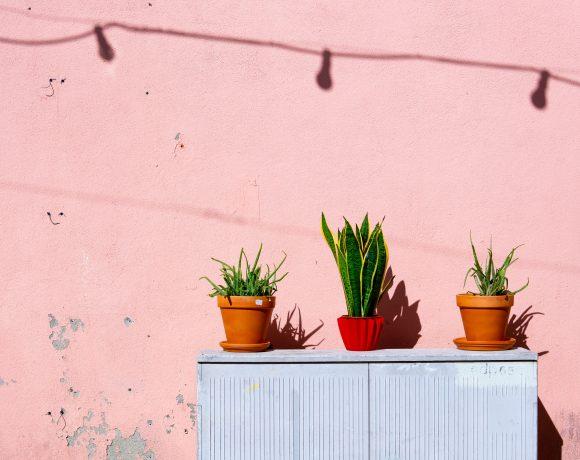 Aloe Vera, The Divine Plant Loved By Many