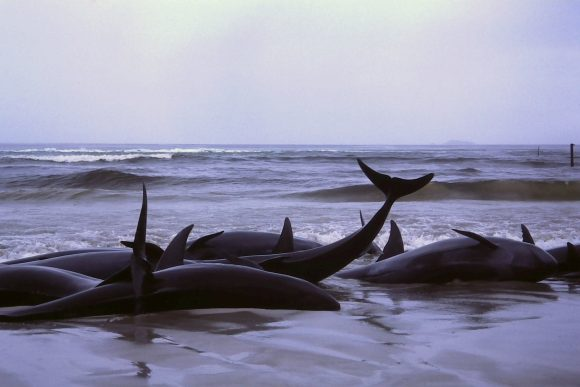 beached_whales_in_Flinders_Bay_(Wikimedia Commons)