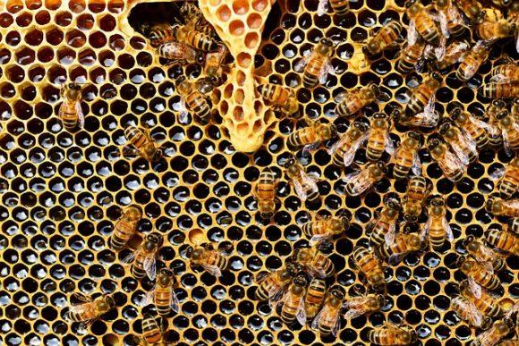 Honey Bee Honeycomb Queen Cup