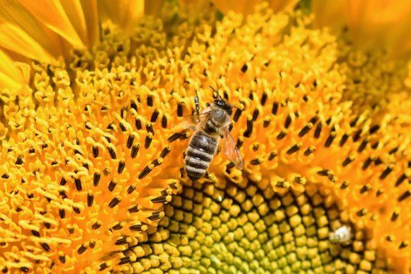 Flower Sunflower Bloom Bee Blossom Honey Bee