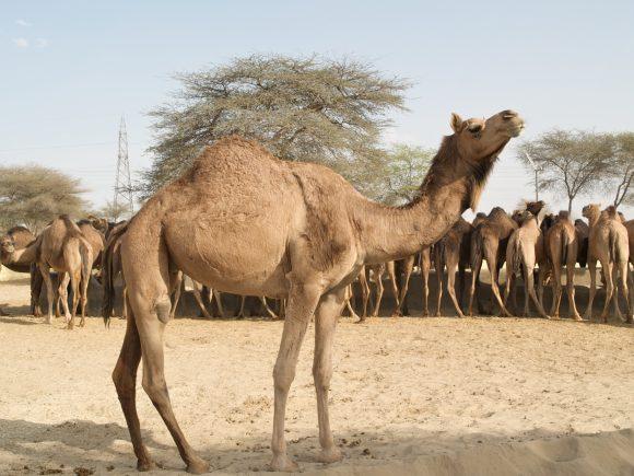 camel (wikimedia commons)