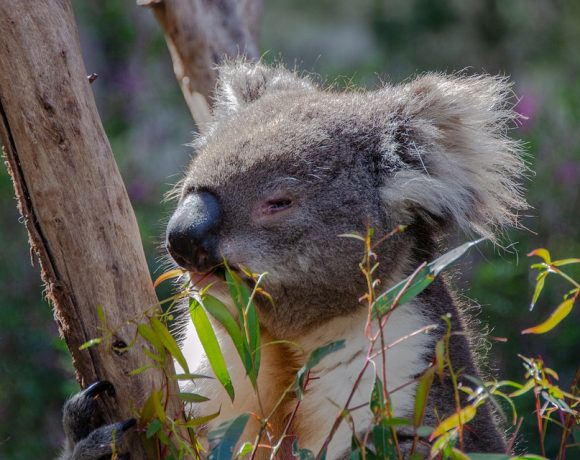 The Un-Bearly Facts About Koala Bears