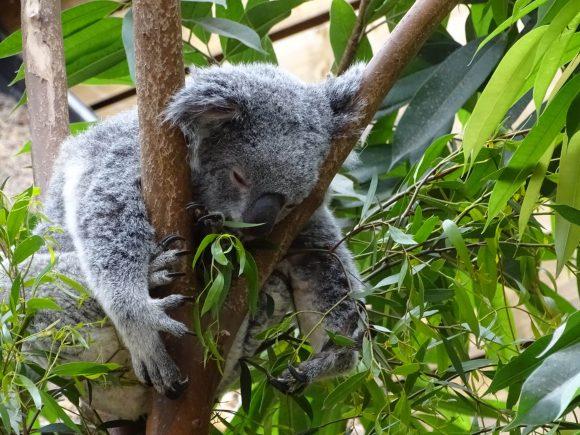 eating koala