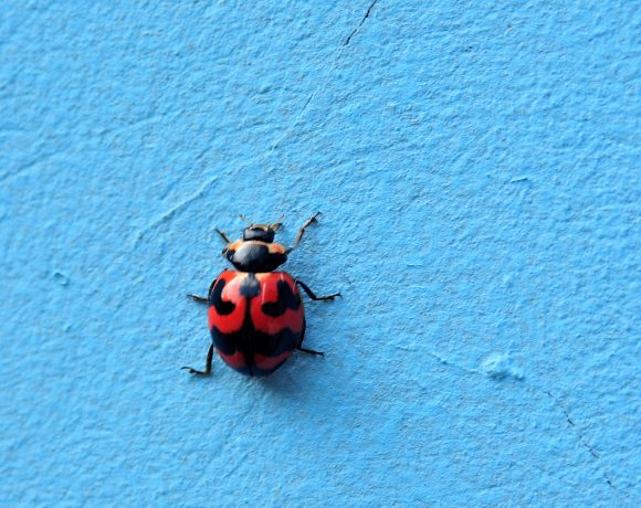 Ladybugs, And Their Importance To Our Nature (And Culture)