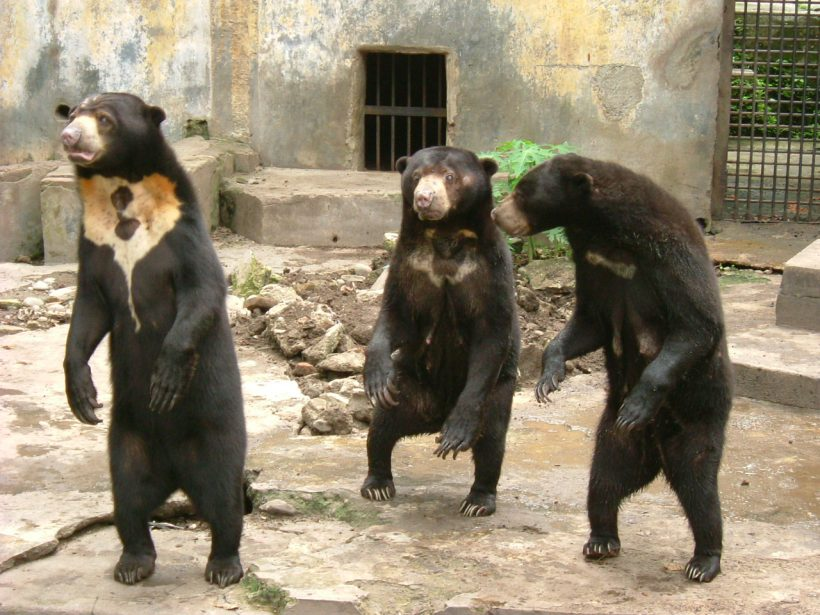 Sun Bears Are Cool, And Here Is Why