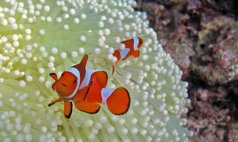 Thanks to Light Pollution, Clownfish Eggs Have Difficulties to Hatch Now
