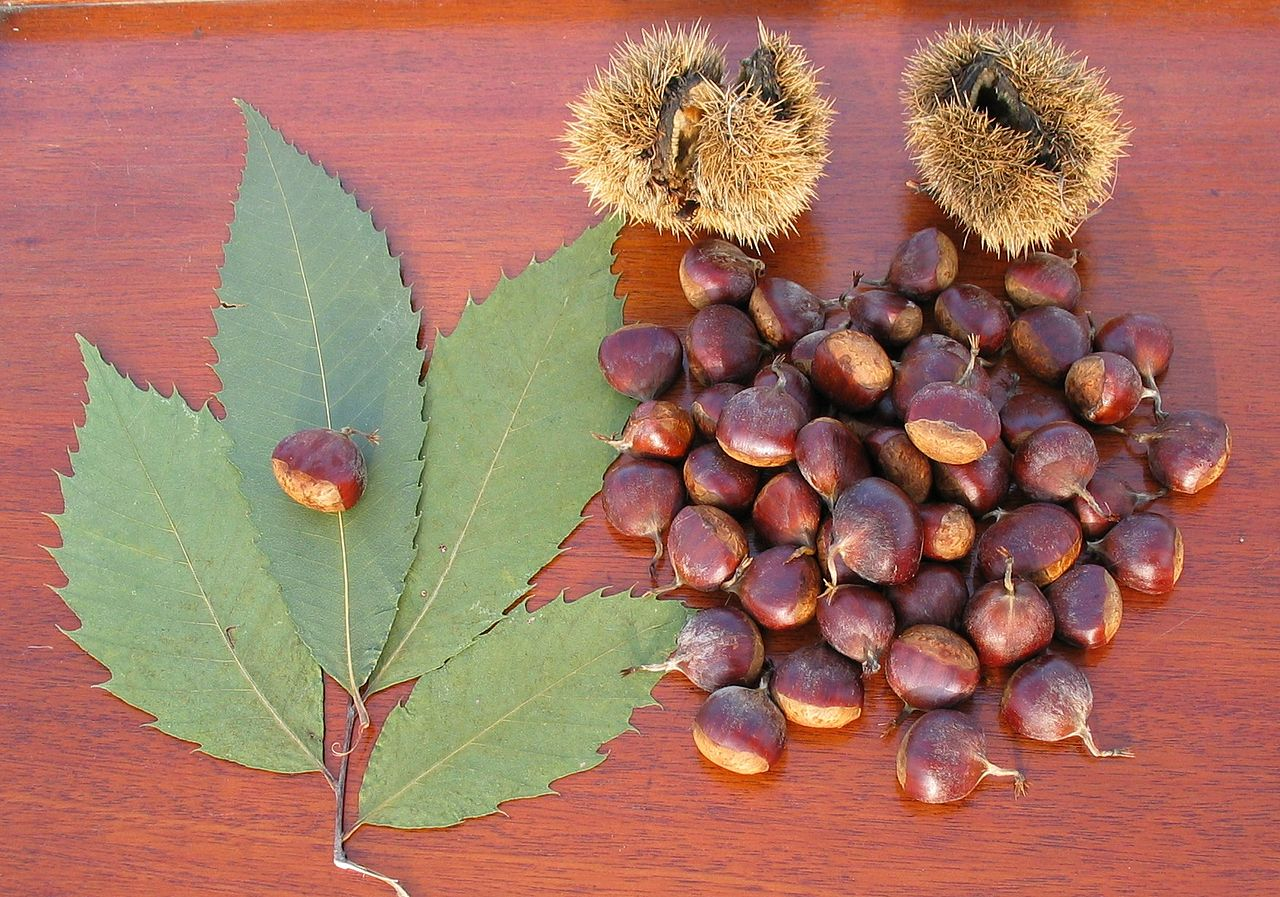 the nut of american chestnut by Peatcher at German Wikipedia