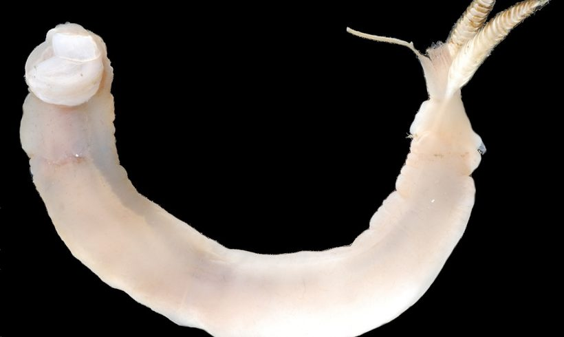 New Species: This Newly Found Worm Eats Rock and Secretes Sand