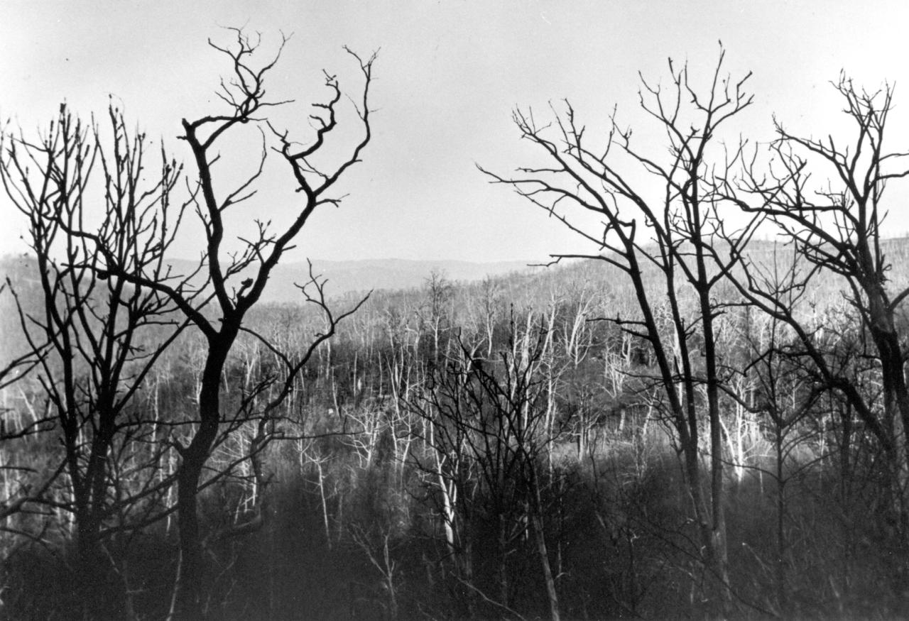 American Chestnut affected by blight documented in 1930. Photo by ChattOconeeNF Wikimedia Commons