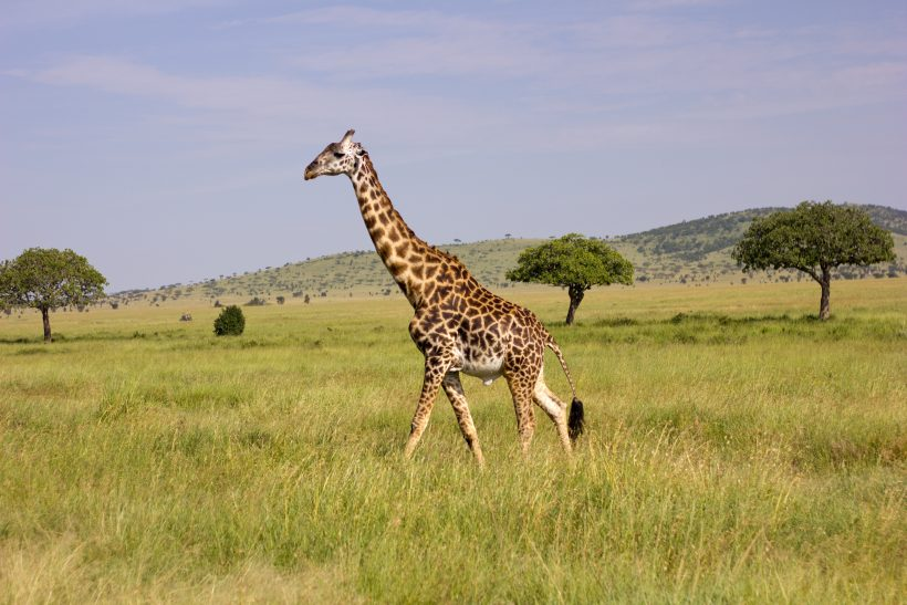 Sad News, Scientists Have Recently Declared The Majestic Masai Giraffes Endangered