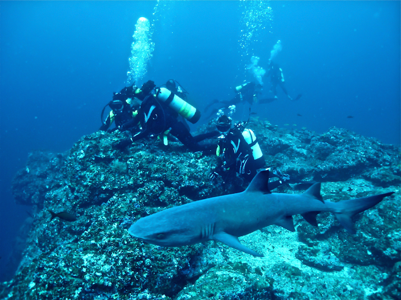 Swimming and diving with sharks by Chadybetour Wikimedia Commons