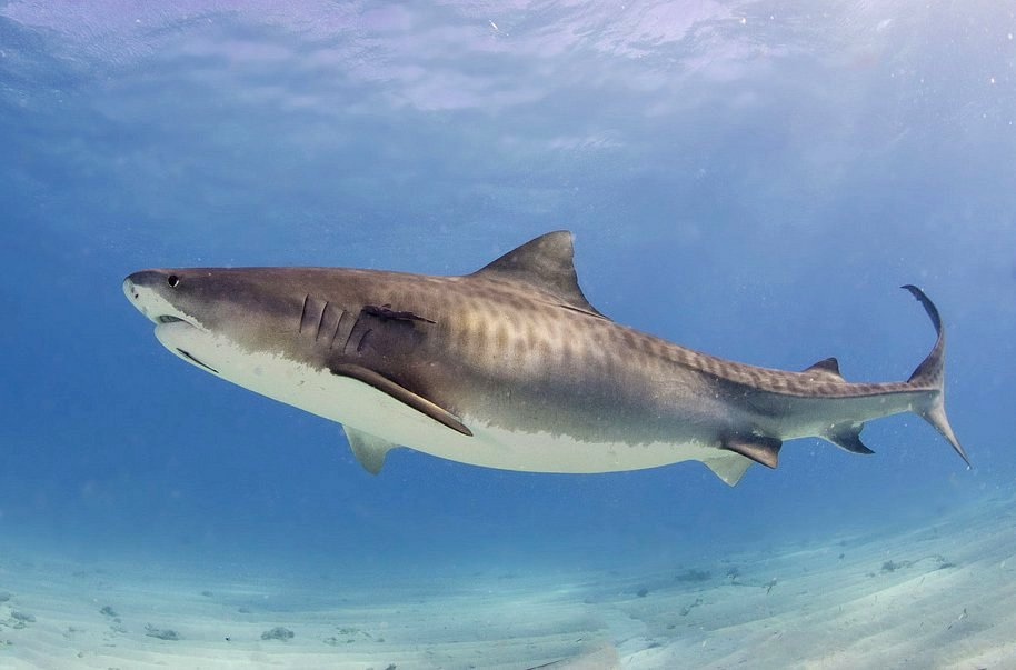 tiger shark by Albert Kok Wikimedia Commons