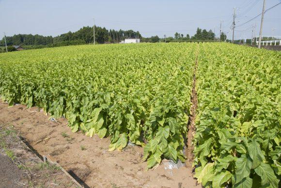 Tobacco_field_in_Namegata (Wikimedia Commons)
