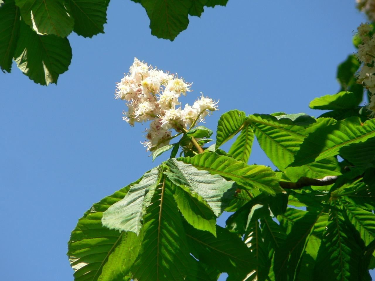 white chestnut tree flowers