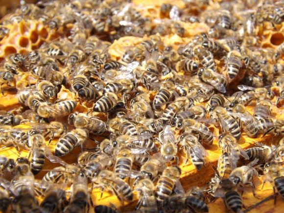 honey-busy-pattern-insect-invertebrate-bee-