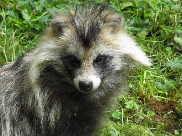 raccoon-dog-