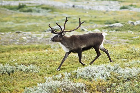 reindeer (Wikimedia Commons)