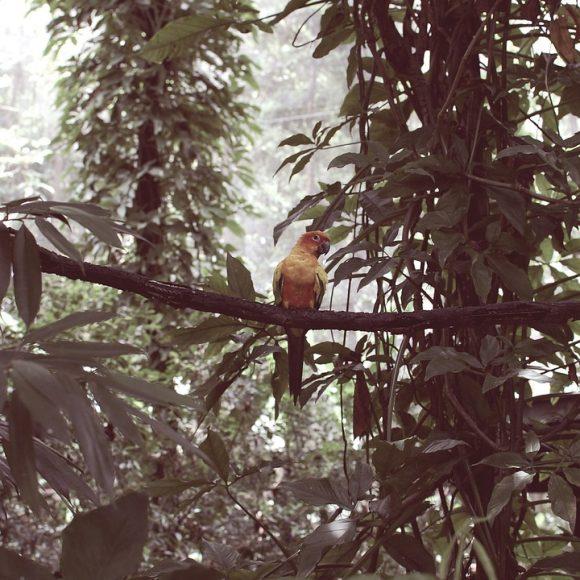 singapore parrot