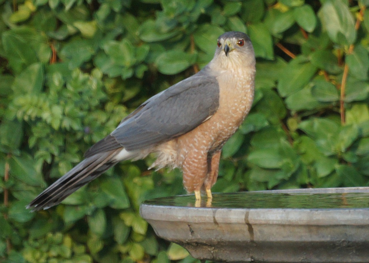 A wild hawk cooling off at the birdbath. Photo by Mike's Wikimedia Commons
