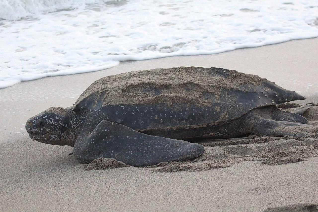 Leahterback sea turtle by Kingdom Wikimedia Commons