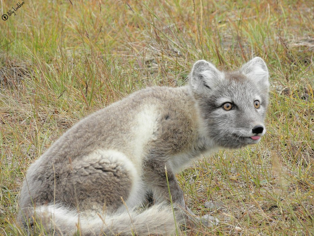 Arctic Fox at Svalbard by Billy Lindblom Wikimedia Commons