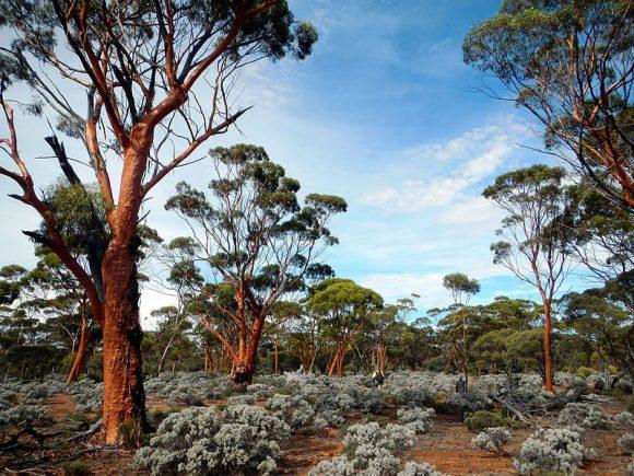 Great_Western_Woodlands (Wikimedia Commons)