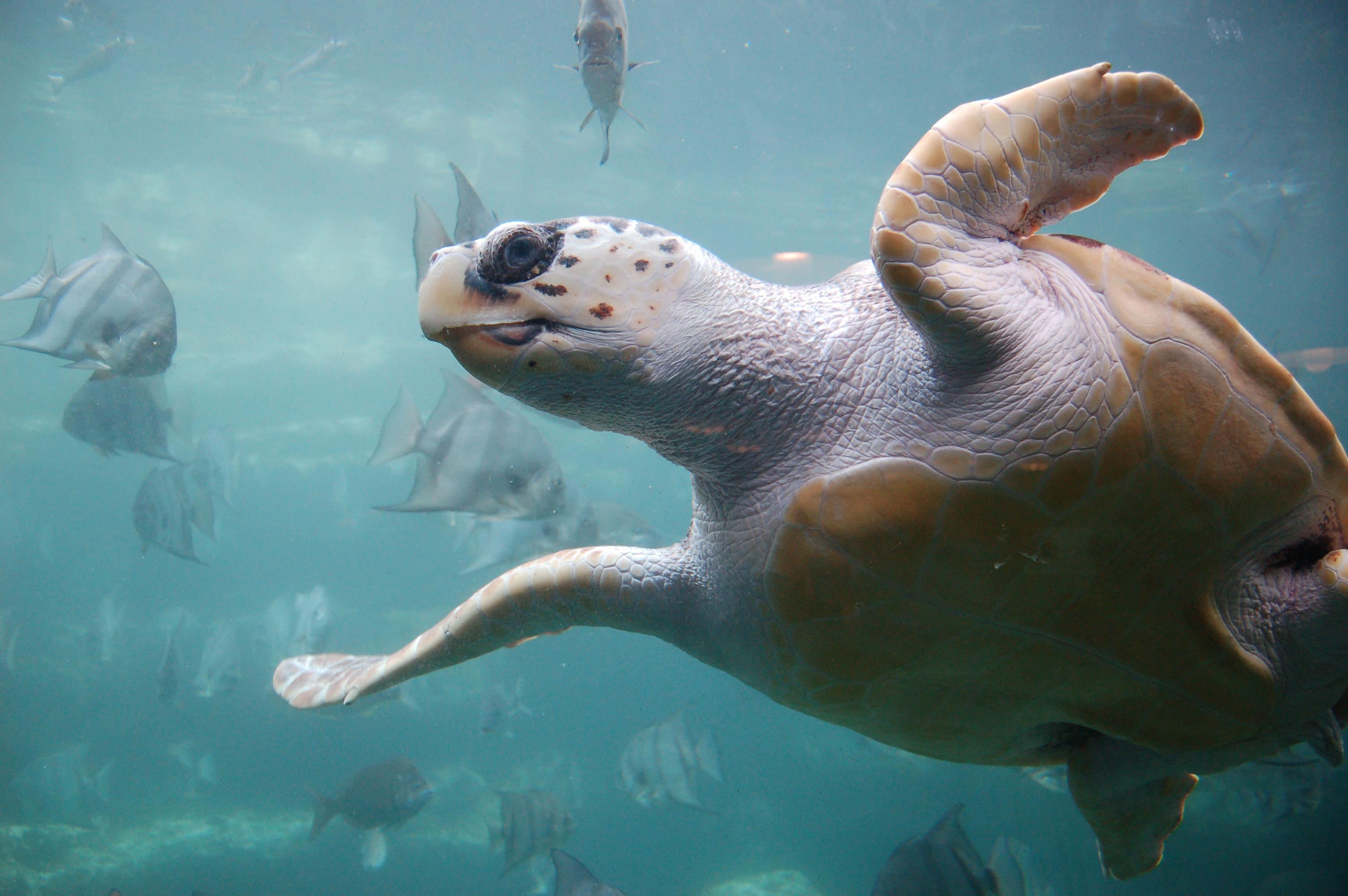 loggerhead sea turtle by ukanda Wikimedia Commons