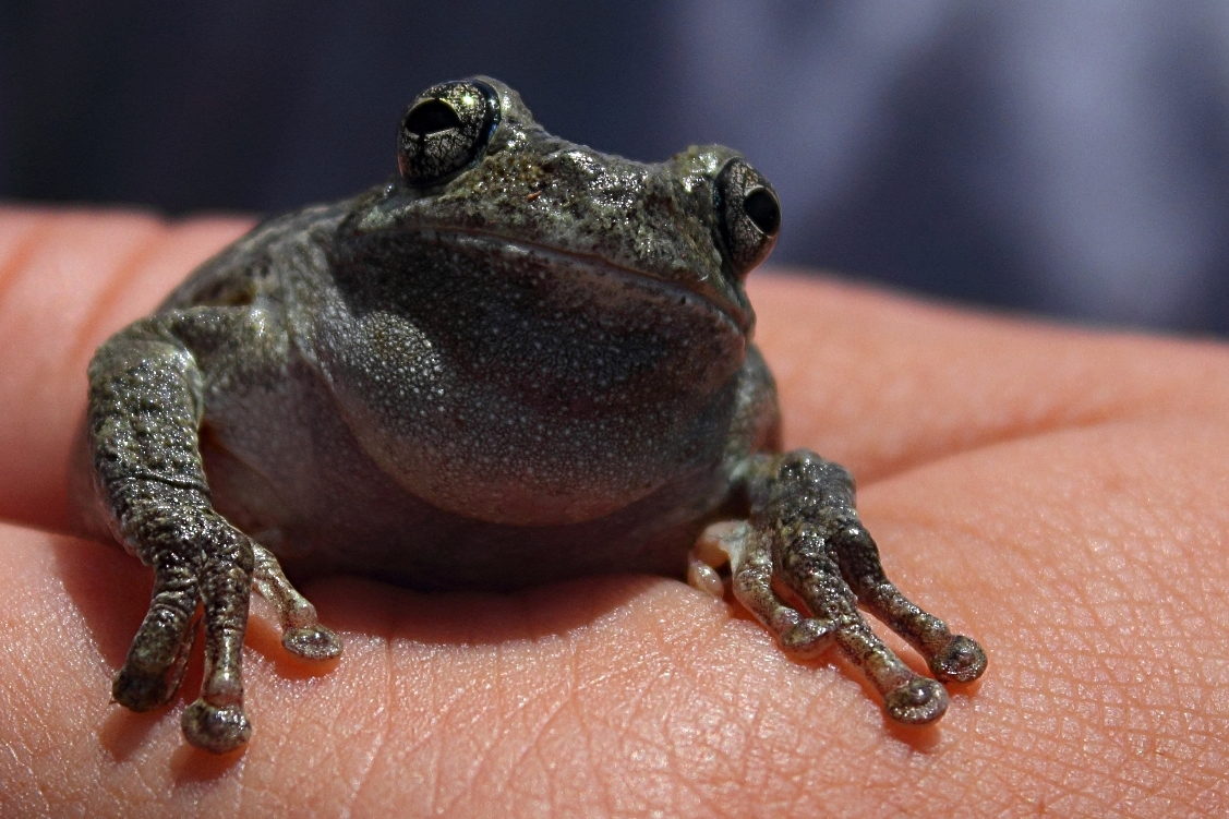 Cope's Gray Tree Frog by vastateparksstaff Wikimedia Commons
