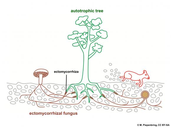 ectomycorrhizal fungi (Wikimedia Commons)