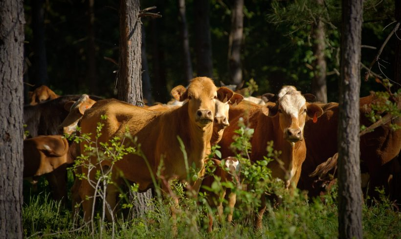 The Ancient Method Of Green Farming: Silvopasture