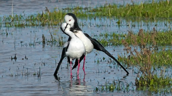 pied-stilt-pair-in wetland