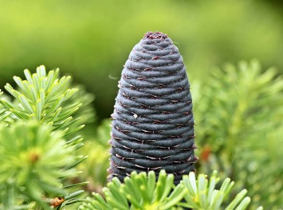 Interesting Facts About Pine Tree That You Should Know