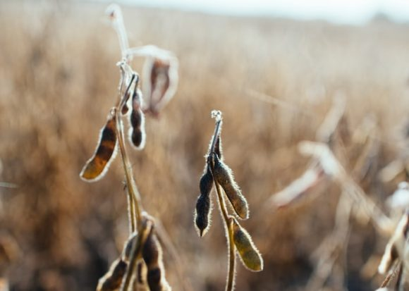 soy plant