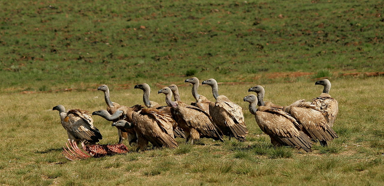 a group of vultures by NJR ZA Wikimedia Commons