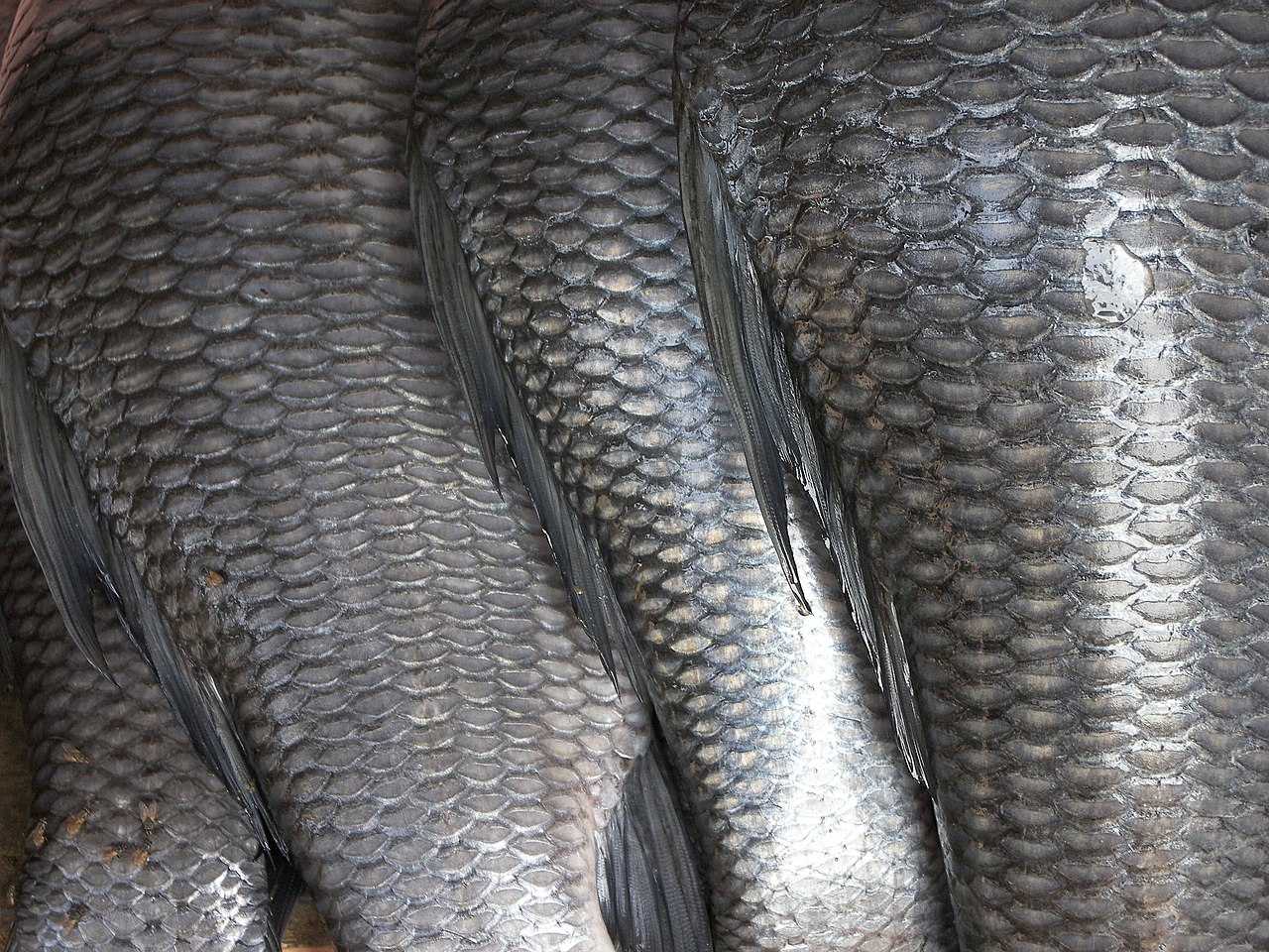 fish skins and scales are unwanted parts that can be turned into bioplastic. photo by Rajesh dangi Wikimedia Commons