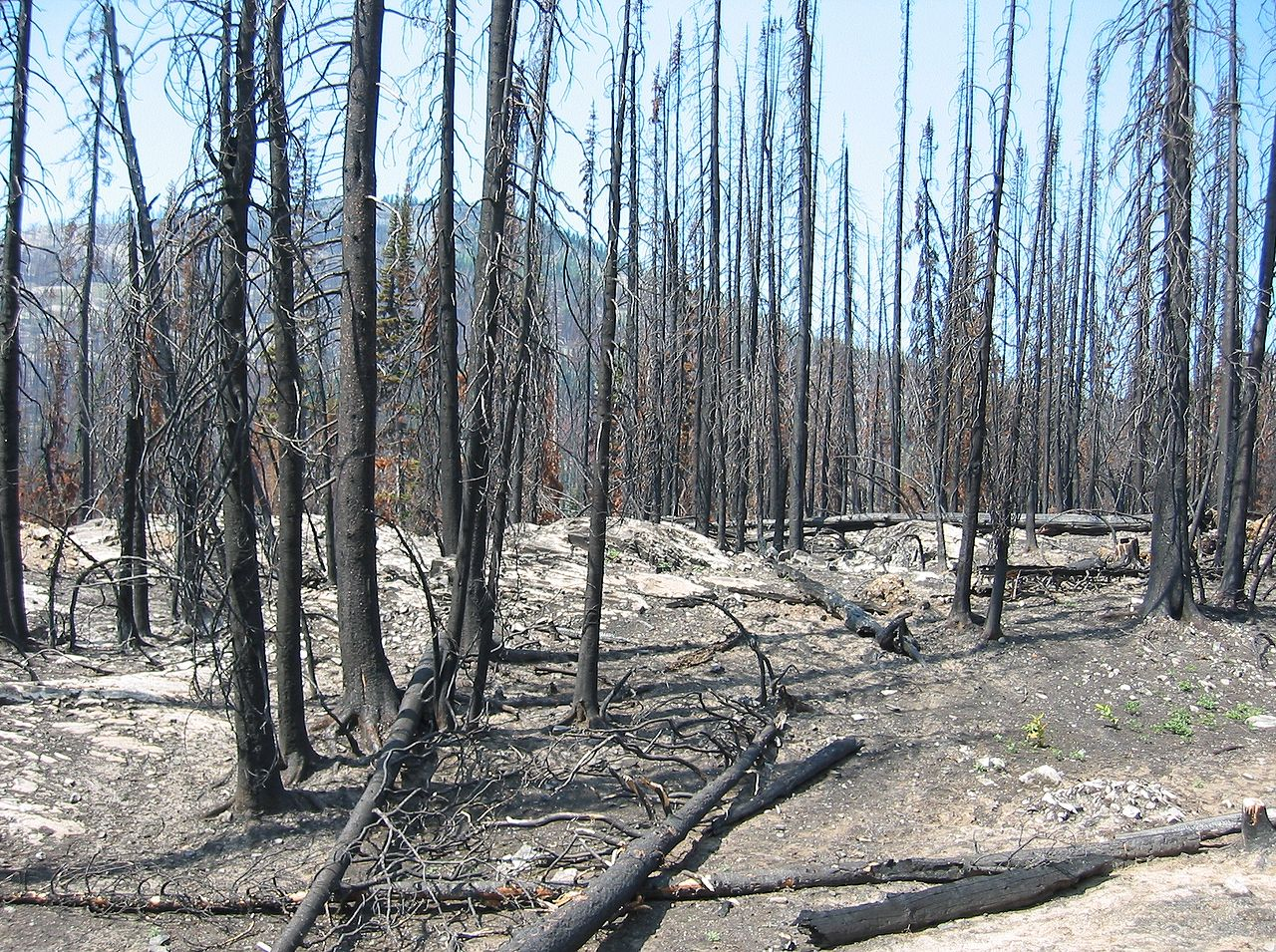 the aftermath of a forest fire. forest fire usually drives forest-dwelling animals away and spread deadly diseases
