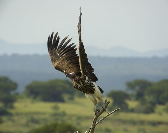 Africa's Vulture Population Is in Crisis Because of Large Scale Poisoning